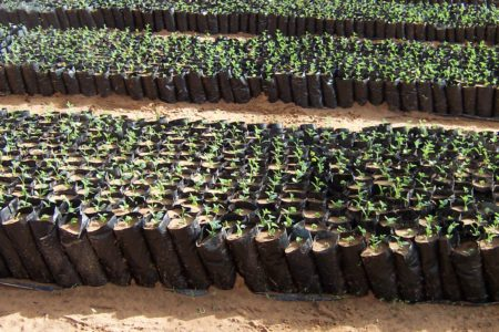 30 Plantation_seedling_8
