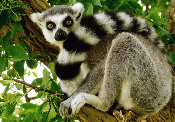 Lemur at zoo
