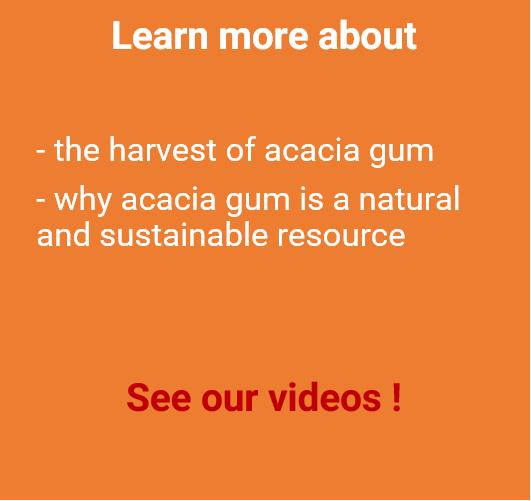 acacia gum harvest videos