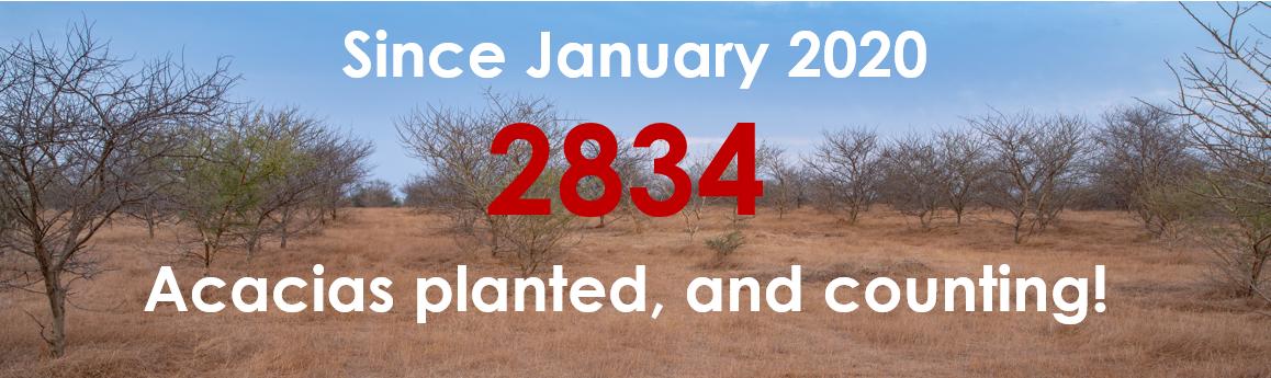 2834 acacias planted